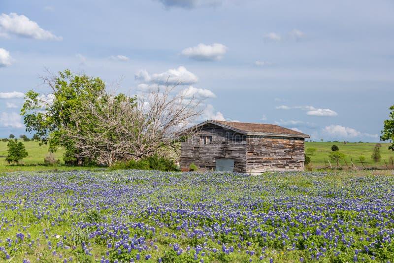 Campo del bluebonnet in campagna di ennis il texas for Piani del granaio di campagna