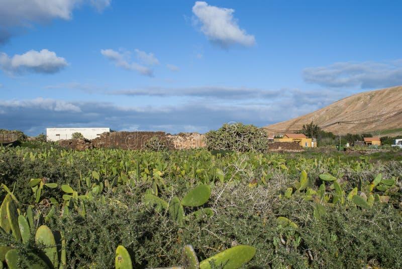 Campo del cactus imágenes de archivo libres de regalías