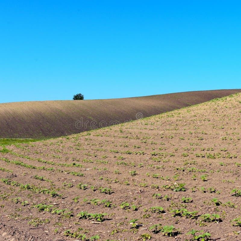 Campo del cernozem con i germogli girasole e cielo blu fotografia stock libera da diritti
