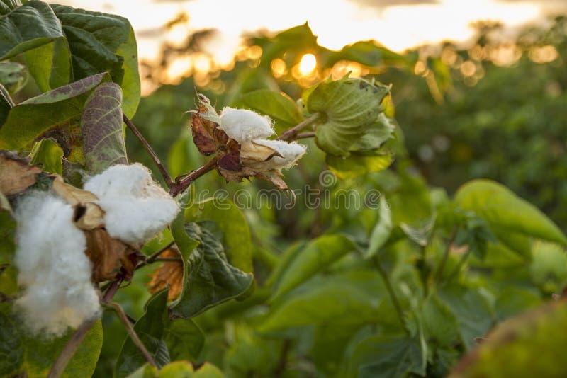 Campo del cotone sulla parte anteriore del tramonto fotografia stock