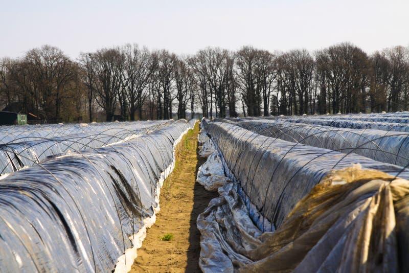 Campo del espárrago en la primavera protegida con la hoja plástica contra helada - Roermond, Países Bajos imágenes de archivo libres de regalías