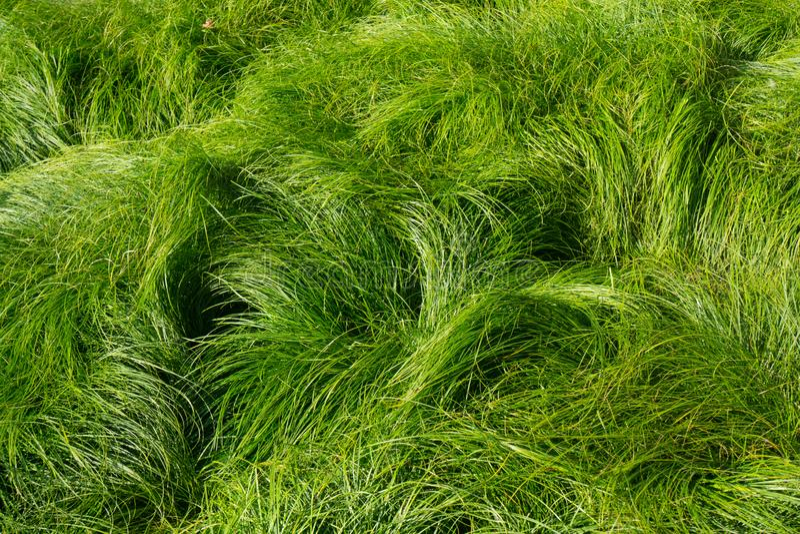 Campo del fondo del soplo de la hierba verde en viento imagen de archivo