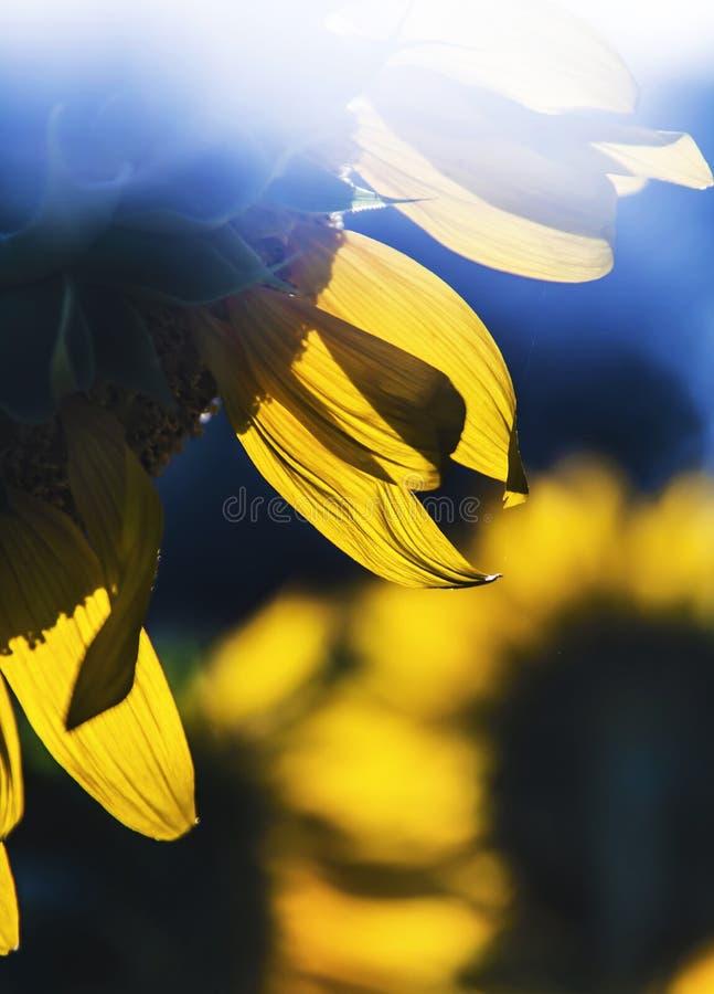 Download Campo del girasol foto de archivo. Imagen de flora, cheery - 42441948