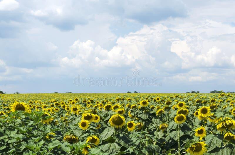 Campo del girasol al mediodía Nubes azules antes de la lluvia y de girasoles florecientes foto de archivo libre de regalías