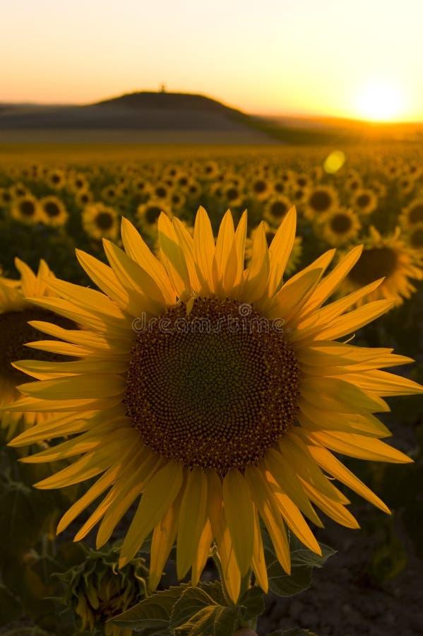 Campo del girasol en la puesta del sol imagenes de archivo