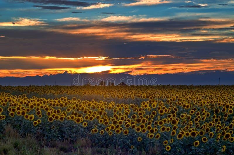 Campo del girasol en la puesta del sol en Colorado foto de archivo