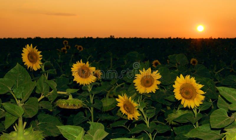 Campo del girasol en puesta del sol fotografía de archivo