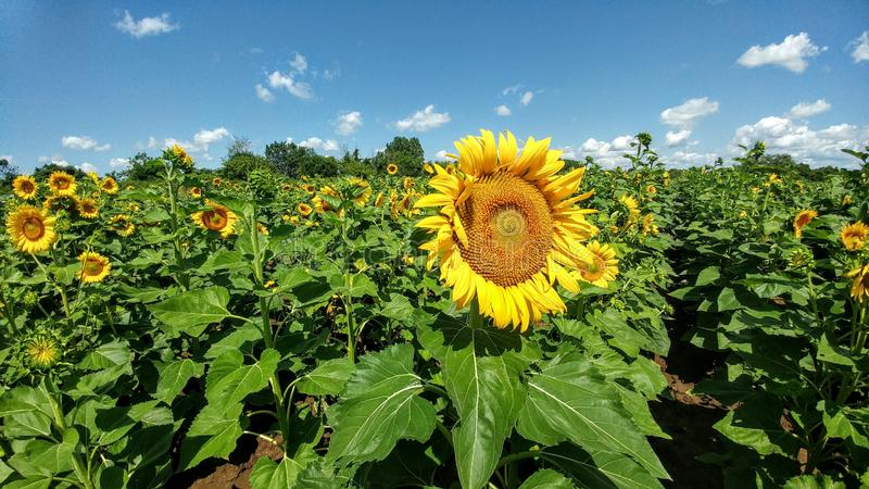 Campo del girasol - Kenosha, Wisconsin imagenes de archivo