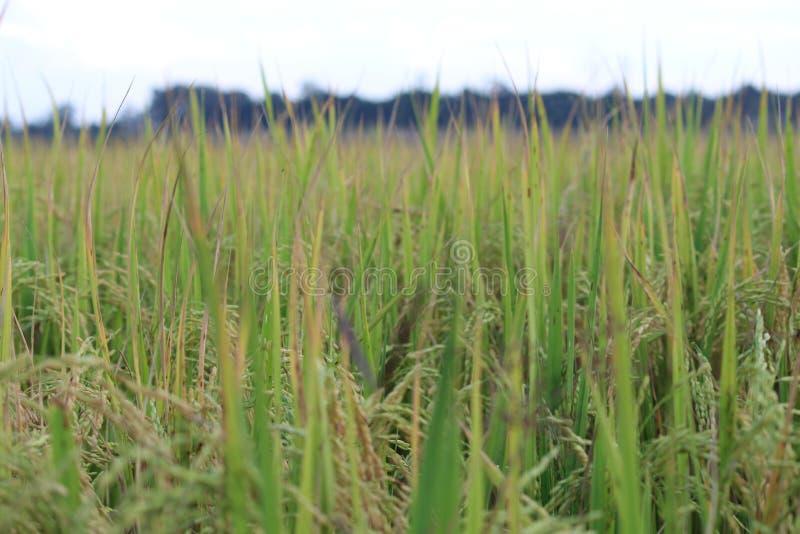 Campo del grano del arroz - lanzamiento de la abertura fotos de archivo