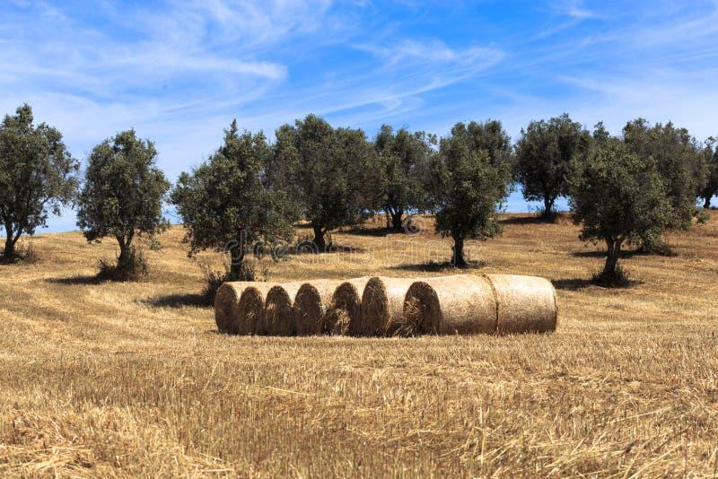 Campo del grano del raccolto e della balla della paglia immagini stock libere da diritti