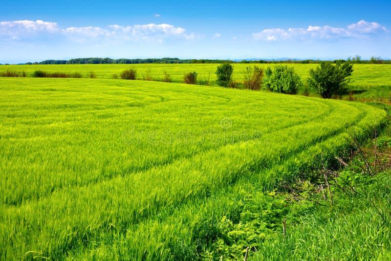 Campo del grano fresco verde y del cielo azul hermoso foto de archivo
