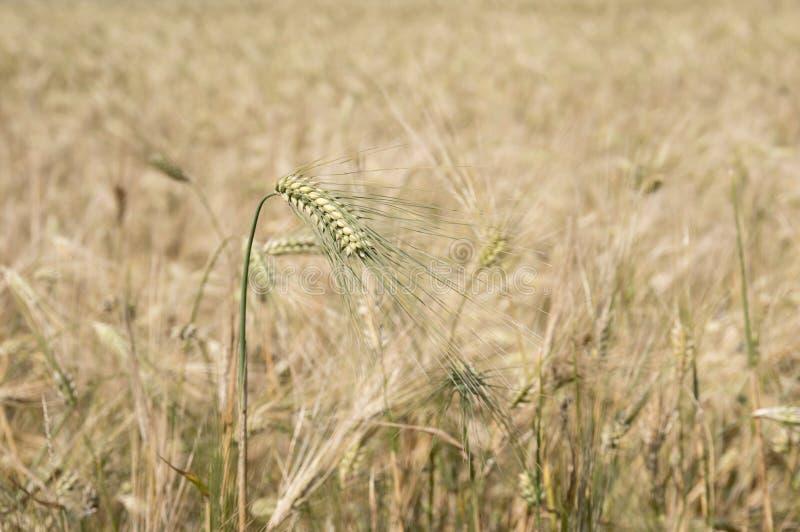 Campo del grano madurado imagen de archivo libre de regalías