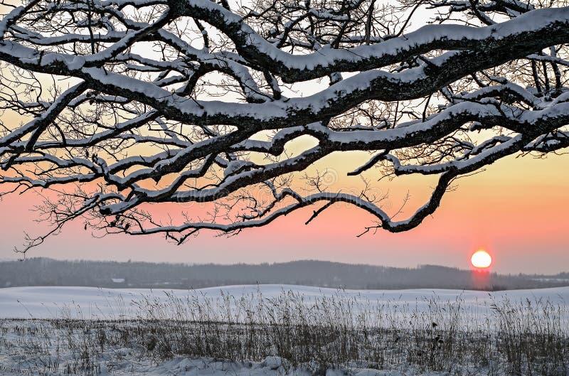 Campo del invierno de la nieve y ramas de robles en la puesta del sol foto de archivo libre de regalías