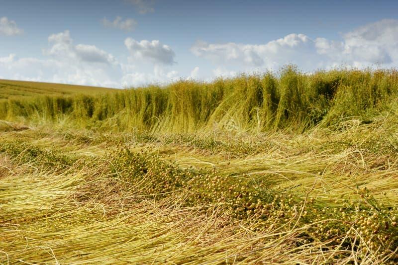 Campo del lino durante cosecha