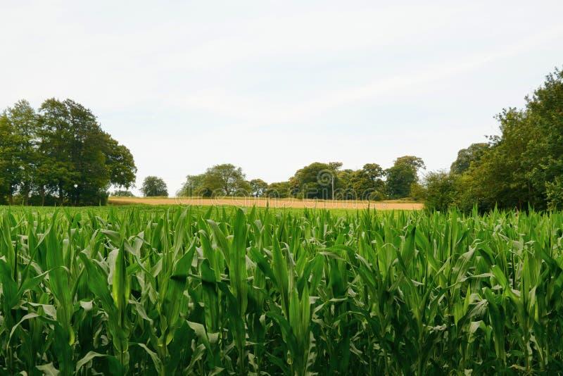 Campo del maíz dulce del maíz dulce, maíz de azúcar, maíz del polo imágenes de archivo libres de regalías