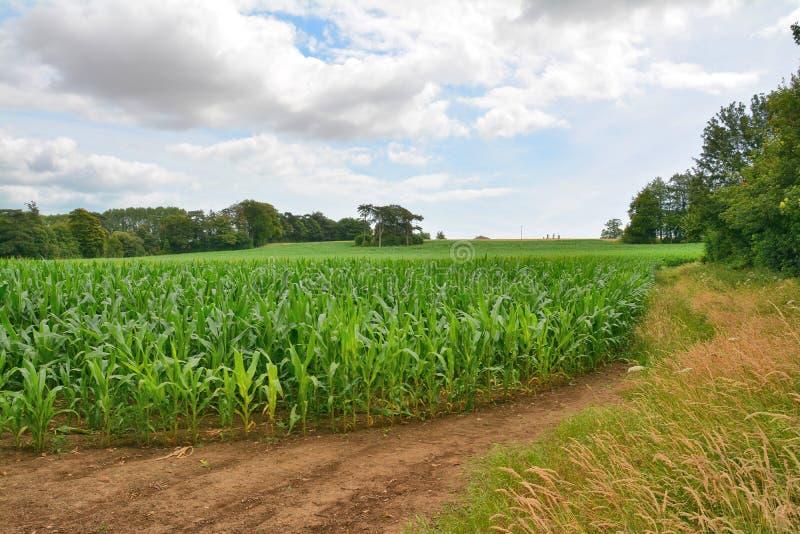 Campo del maíz dulce del maíz dulce, maíz de azúcar, maíz del polo foto de archivo libre de regalías