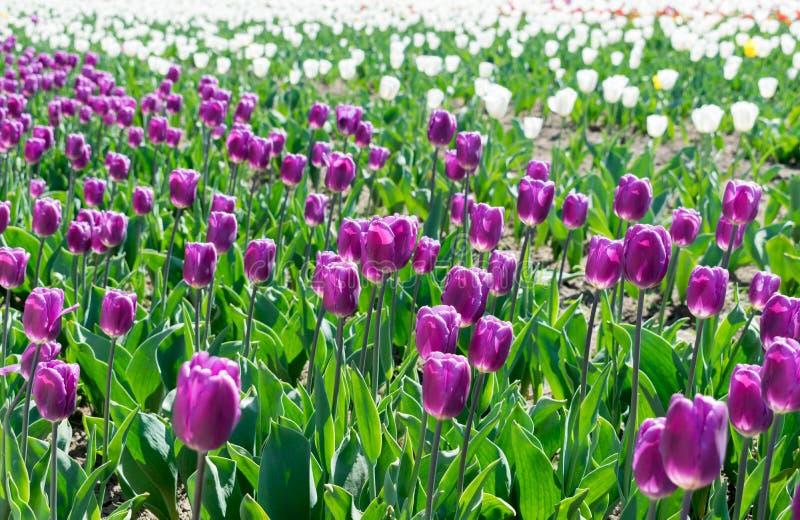 Campo del misterio del árabe de los tulipanes fotos de archivo
