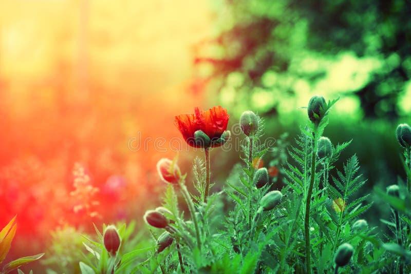Campo del papavero al tramonto immagine stock