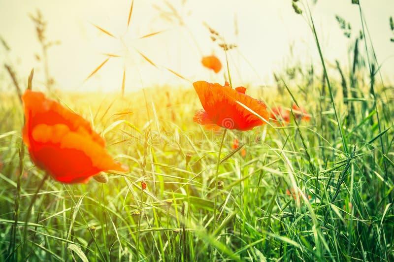 Campo del papavero di estate alla luce del sole fotografia stock libera da diritti