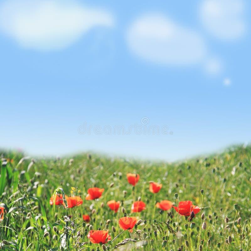 Campo del papavero e priorità bassa del cielo blu immagine stock