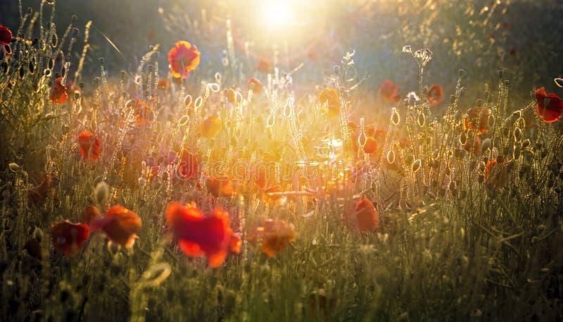 Campo del papavero illuminato dal sole basso di autunno immagini stock libere da diritti