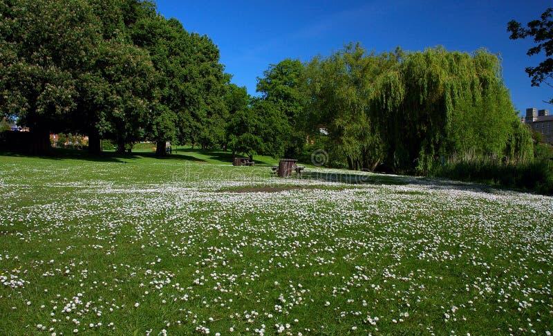 Campo del parque de la ciudad de Diss de margaritas imagen de archivo