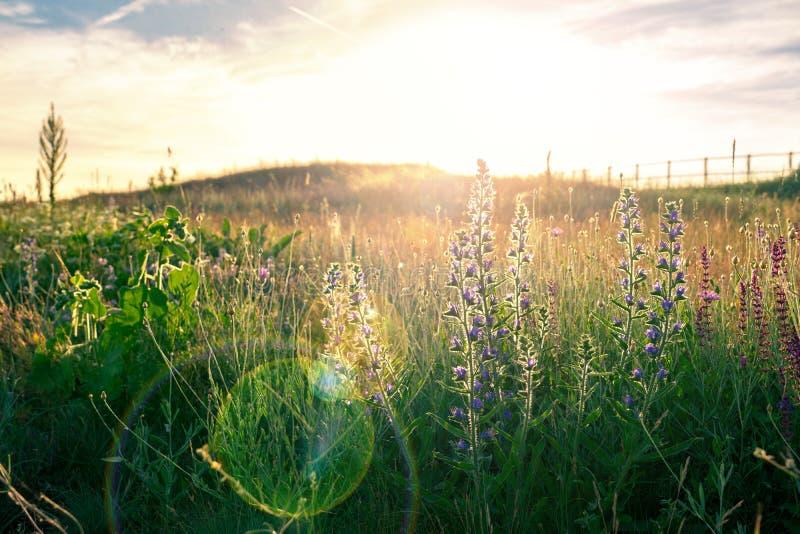Campo del prato del fiore selvaggio con il chiarore del sole e della lente della foschia di estate fotografie stock libere da diritti
