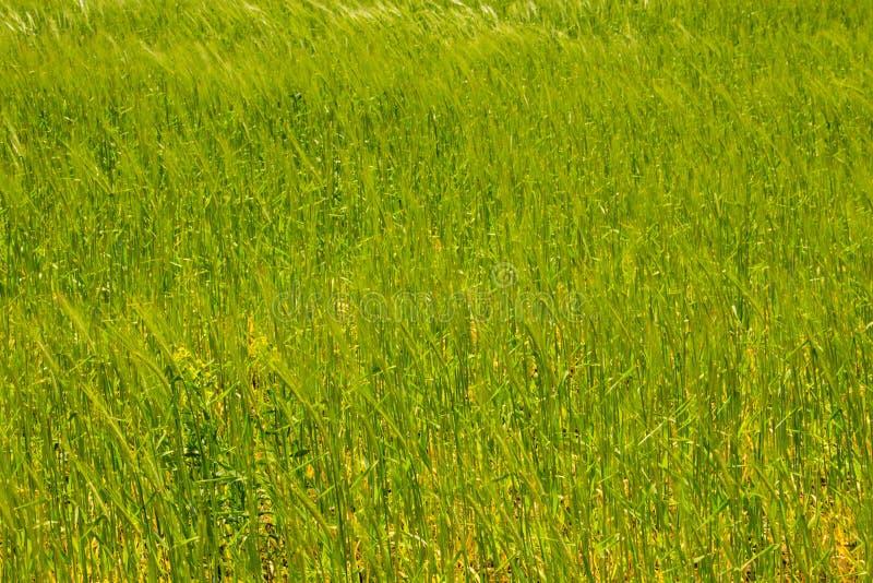 Campo del primer verde joven del trigo imagen de archivo