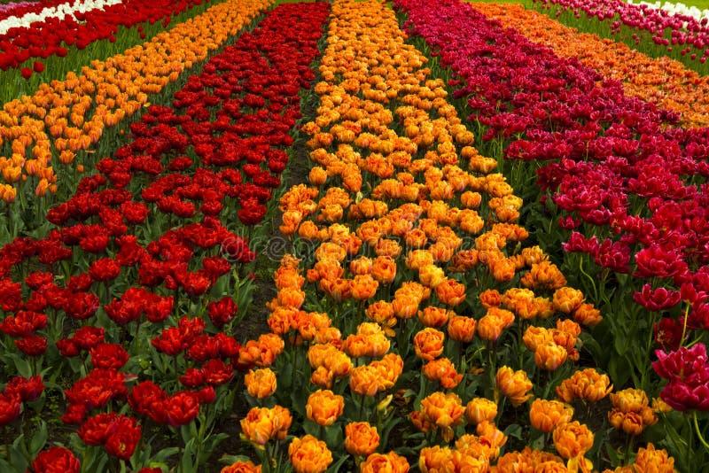 Campo del resorte con los tulipanes fotografía de archivo