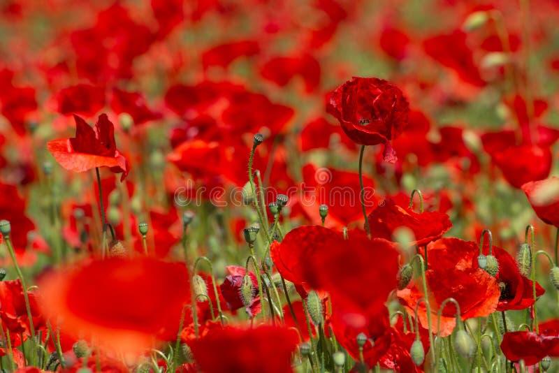 Campo del ` s de la amapola en el verano, cierre para arriba con el fondo borroso rojo fotos de archivo