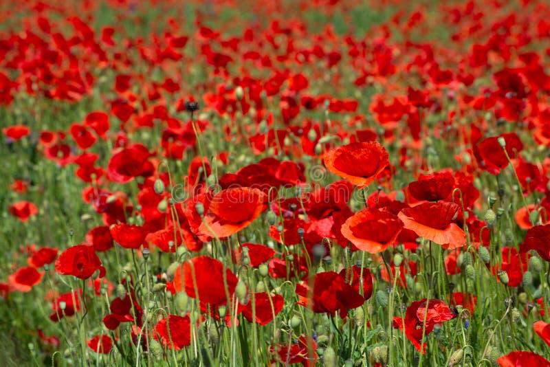 Campo del ` s de la amapola en el verano, cierre para arriba con el fondo borroso rojo imágenes de archivo libres de regalías