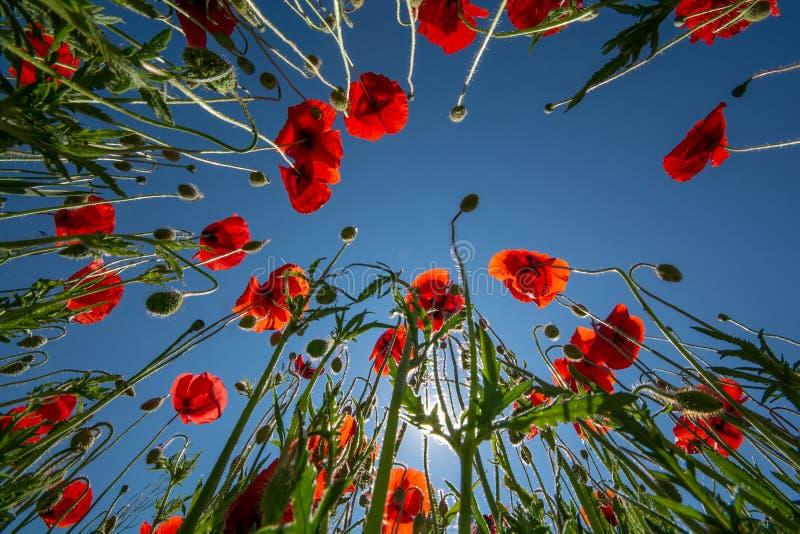 Campo del ` s de la amapola en el verano, cierre para arriba con el fondo claro de cielo azul foto de archivo