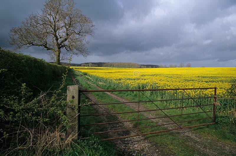 Campo del seme di ravizzone. fotografia stock libera da diritti