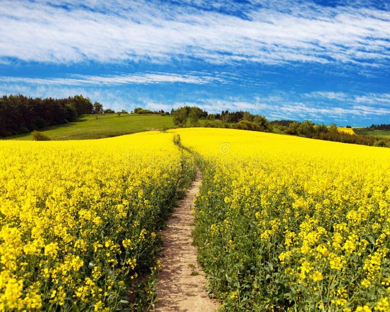 Campo del seme di ravizzone, del canola o della colza con il modo del percorso fotografie stock libere da diritti