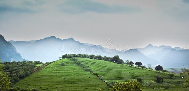 Campo del tè immagini stock libere da diritti