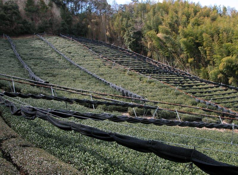 Campo del tè e foresta del bambù fotografie stock