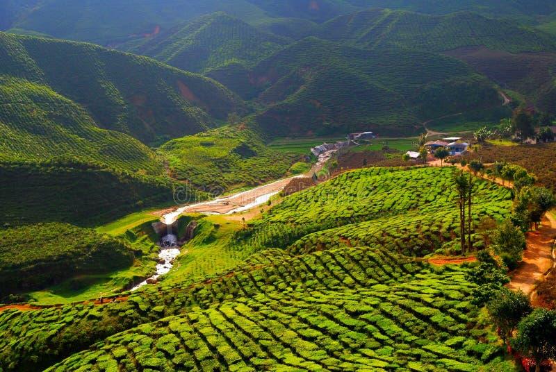 Campo del tè in Malesia fotografia stock libera da diritti