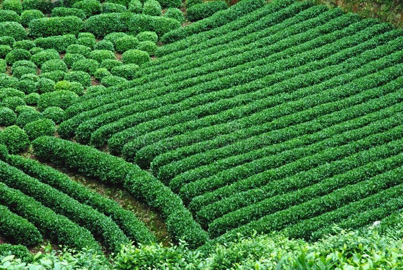 Campo del té verde fotografía de archivo