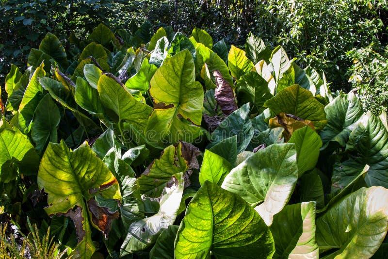 Campo del taro sull'isola dell'Yap immagini stock libere da diritti