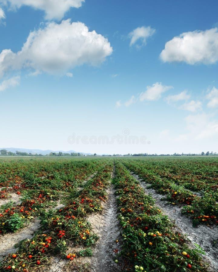 Campo del tomate el día de verano foto de archivo