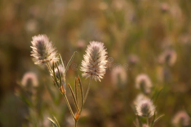 Campo del trifoglio I fiori del prato fotografia stock