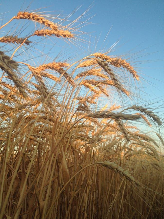 Campo del trigo imagenes de archivo