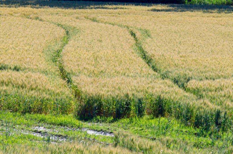 Campo del trigo amarillo imagen de archivo