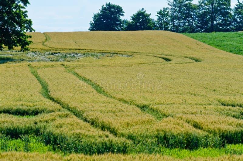 Campo del trigo amarillo fotos de archivo libres de regalías