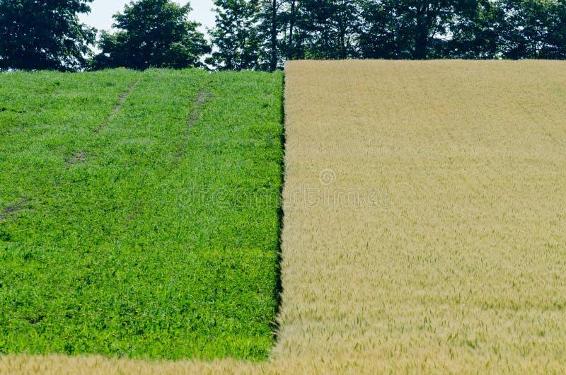 Campo del trigo amarillo imagen de archivo libre de regalías