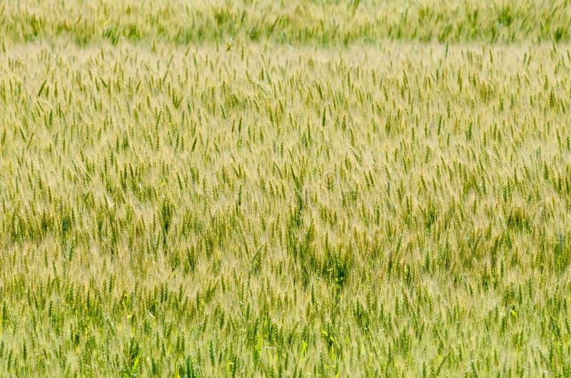 Campo del trigo amarillo imagenes de archivo