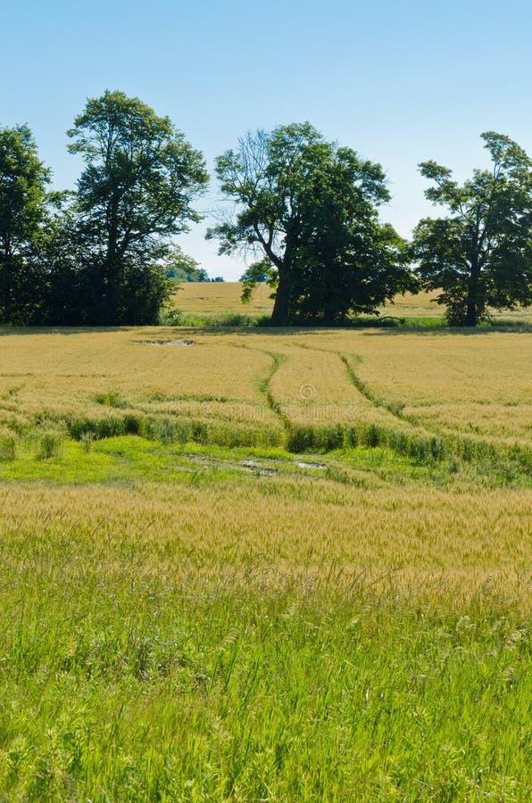 Campo del trigo amarillo imágenes de archivo libres de regalías
