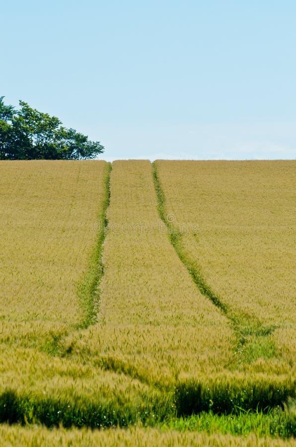Campo del trigo amarillo fotos de archivo