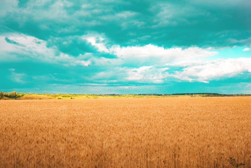 Campo del trigo de oro con las nubes de la aguamarina en el cielo imagen de archivo libre de regalías