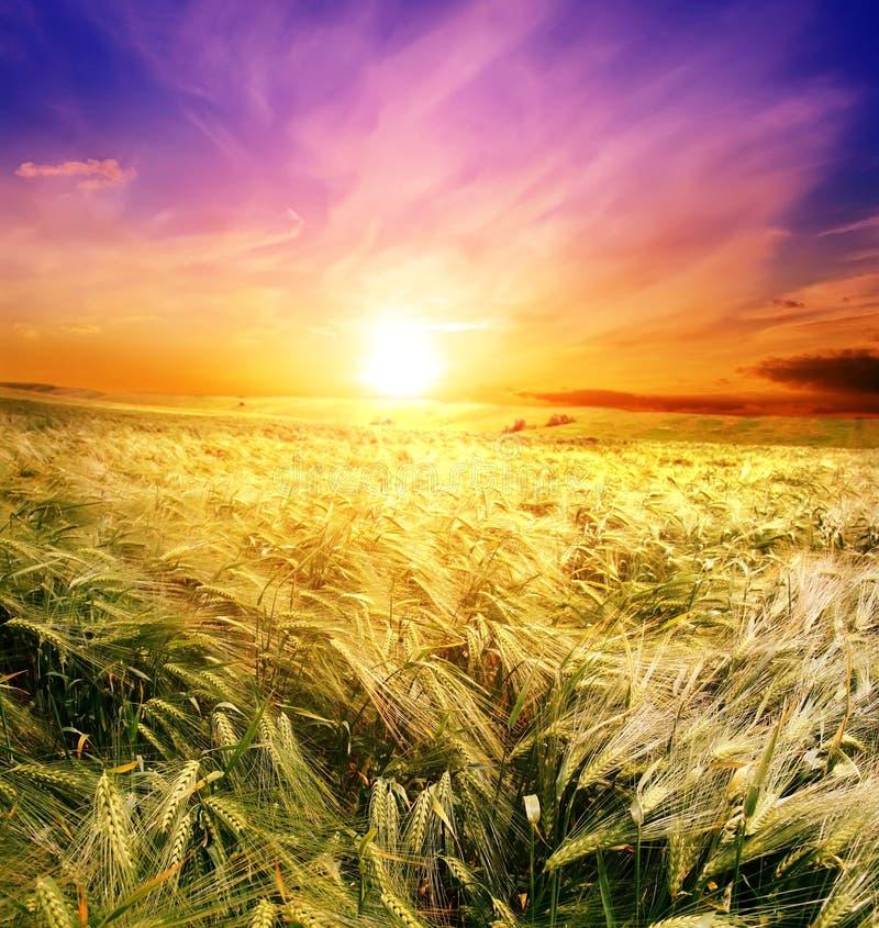 Campo del trigo en una salida del sol del fondo foto de archivo libre de regalías